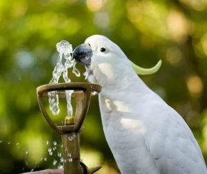 попугай не пьет воду фото