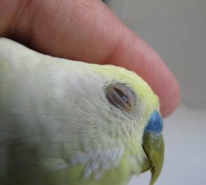попугай прищуривает глаз фото