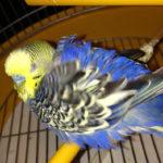 у попугая судороги фото