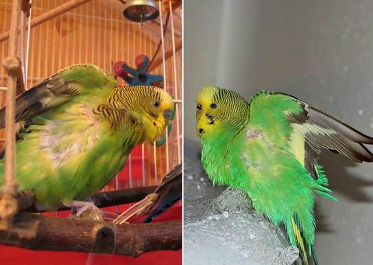 вывих крыла у попугая