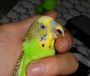 попугай часто дышит и щелкает клювом фото