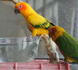 попугай не хочет пить воду фото