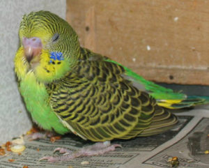 глисты у попугая фото
