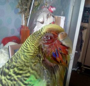 попугай повредил глаз фото