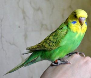 понос у попугая фото