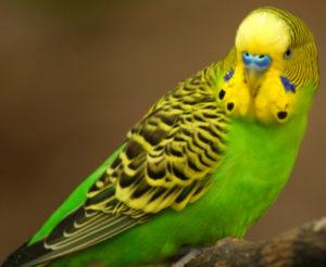 попугай носится по клетке фото