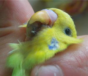 попугай чешет клюв о жердочку фото