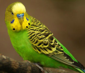 попугай стал агрессивным фото