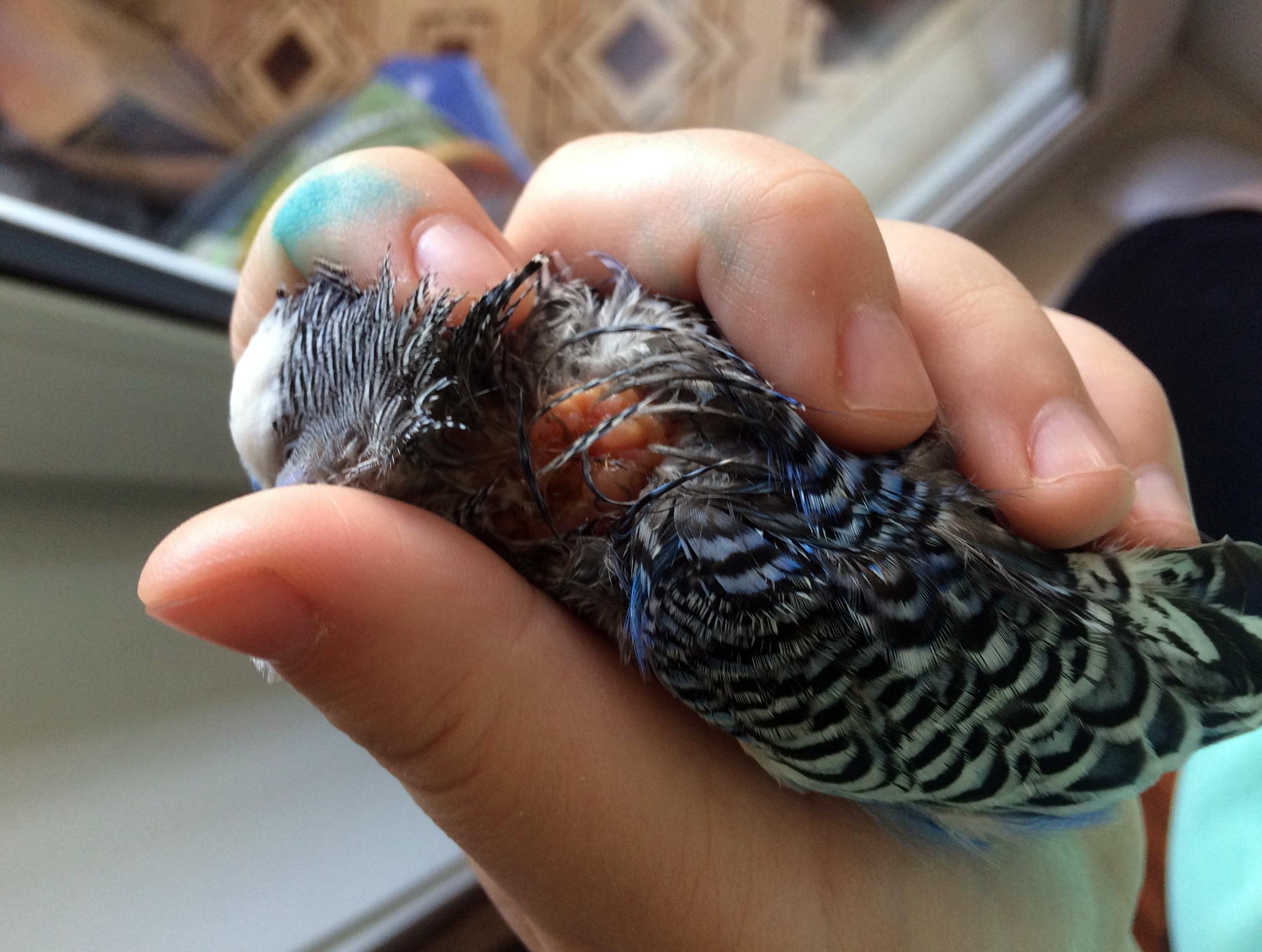 шишка на шее у попугая