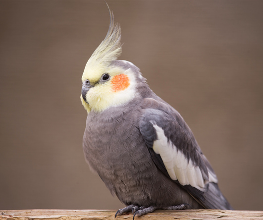 попугаи корелла фото
