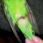 У попугая идёт кровь из лапы – как помочь?