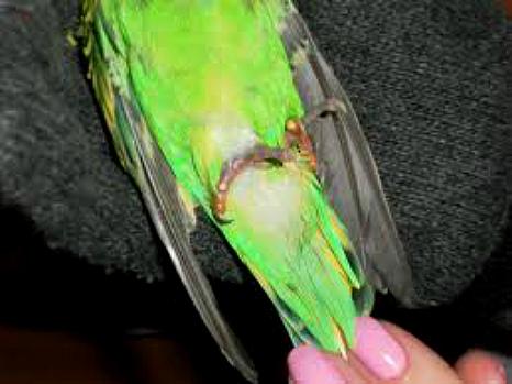 кровь из лапы у попугая