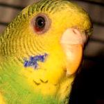 Почему у попугая покраснел глаз: причины и варианты лечения?