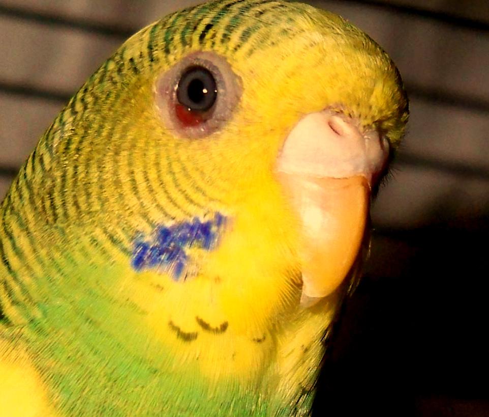 красный глаз у попугая