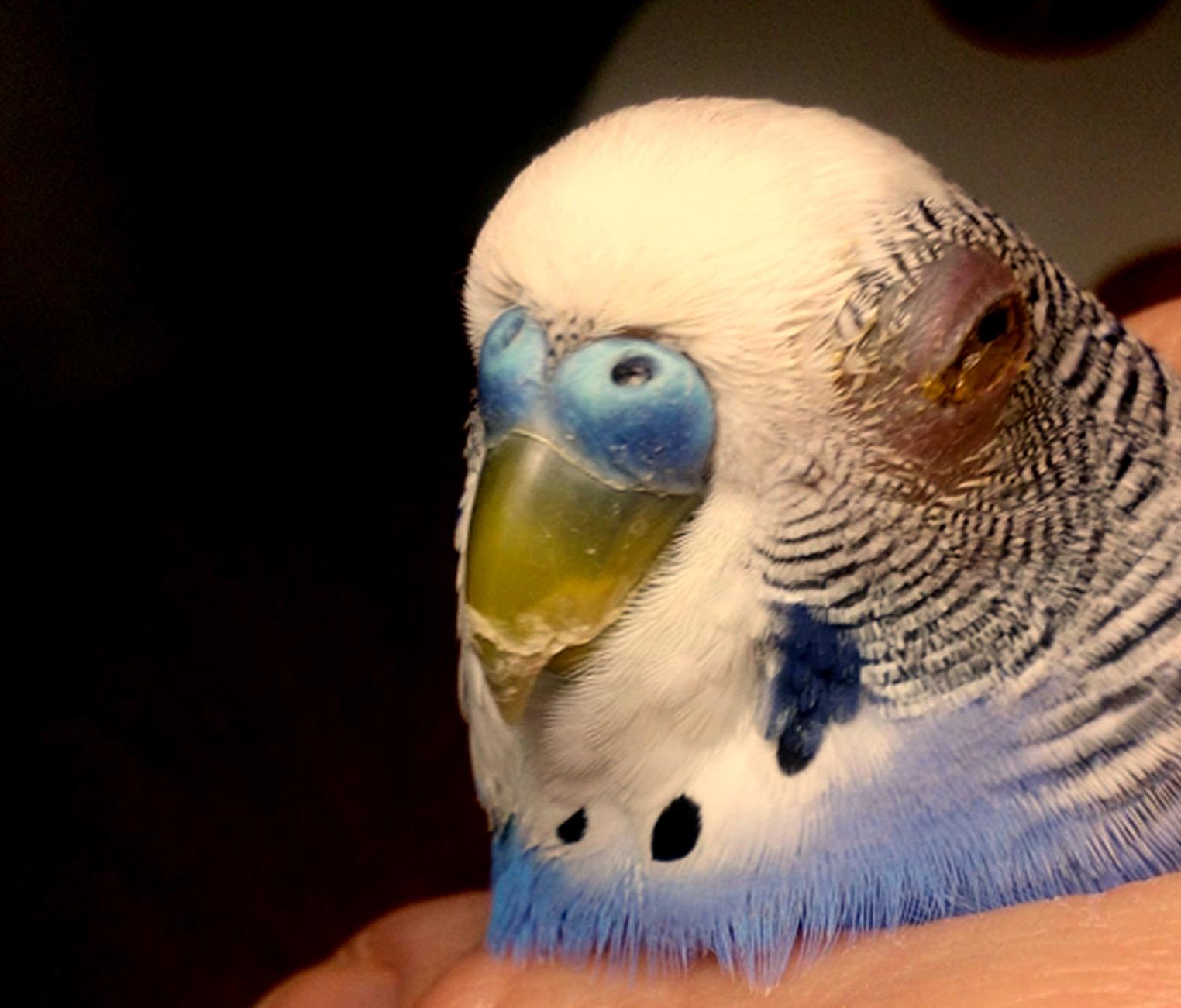 опухает глаз у попугая
