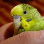 Как определить что у попугая запор?