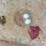 Как помочь попугаю снести яйцо?