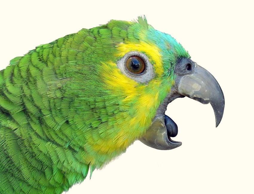 у попугая посинел язык