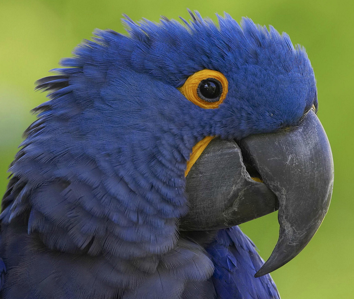 попугай щелкает клювом