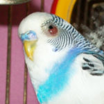 Как помочь попугаю, если он повредил глаз?