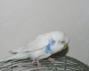 попугай теряет ориентацию в пространстве фото