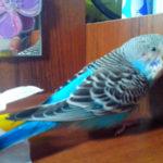 Что может привести к вялости попугая?