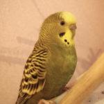 Нормально, если попугай носится по клетке?