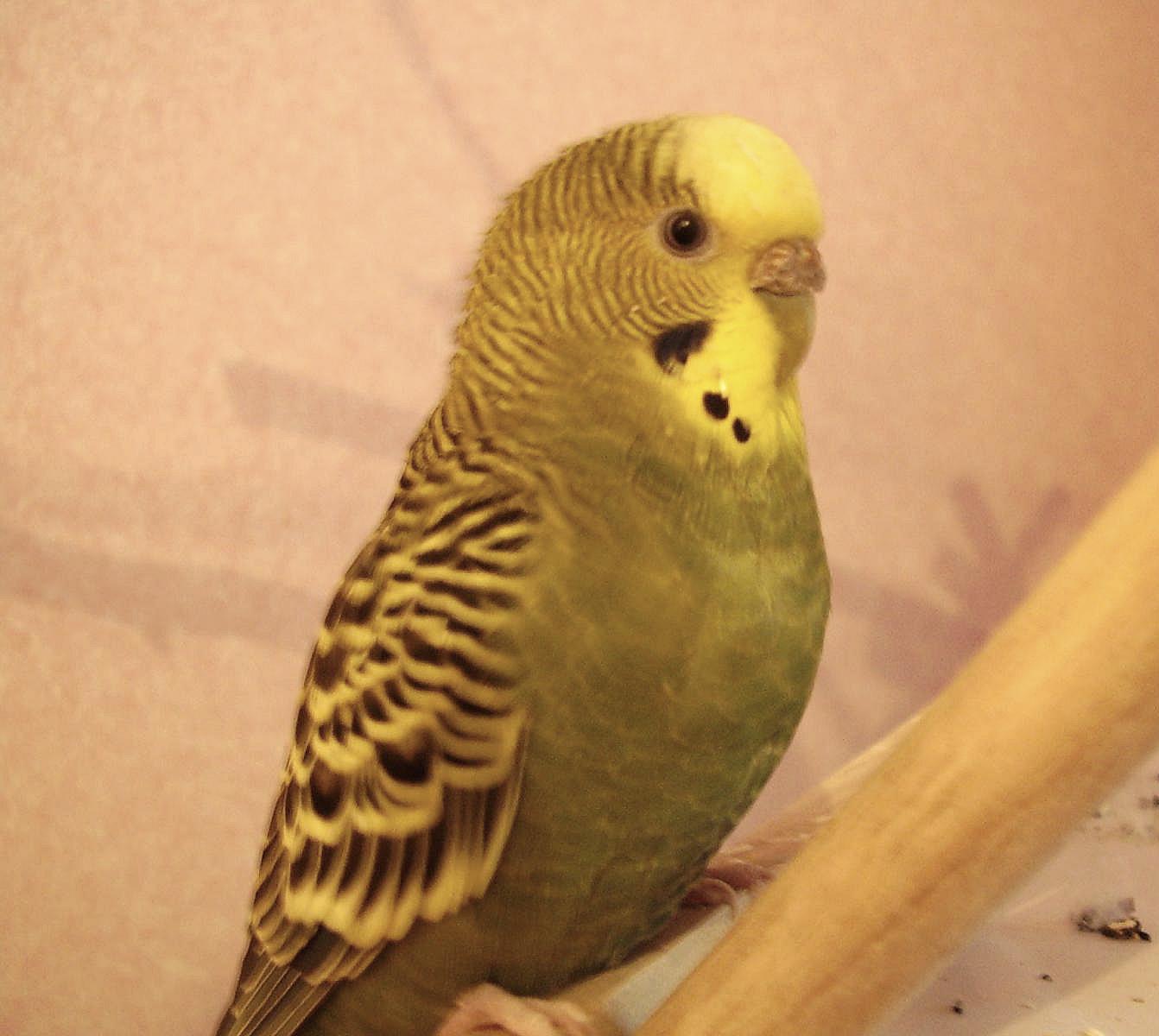 попугай носится по клетке