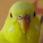 Почему попугай может чесать клюв?