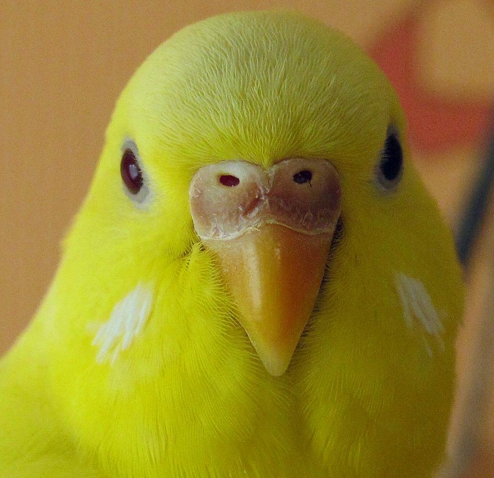 попугай чешет клюв
