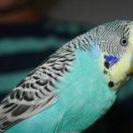 Из-за чего попугай может стать агрессивным?