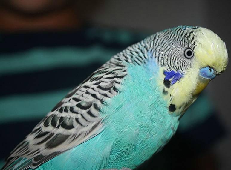 попугай не подпускает к себе