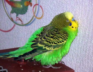попугай нахохлился фото