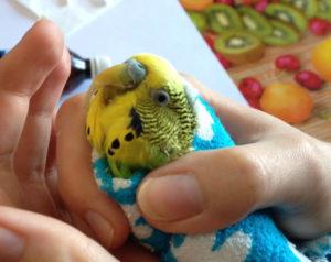 попугай постоянно щелкает клювом фото