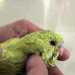Как выбрать эффективный препарат от глистов для попугая?