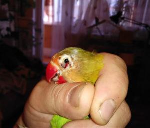 попугай поранил глаз фото