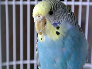 у попугая сухой клюв фото