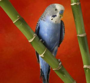 попугай бегает по клетке туда – сюда фото