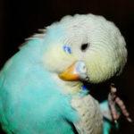попугай постоянно чешет глаз фото