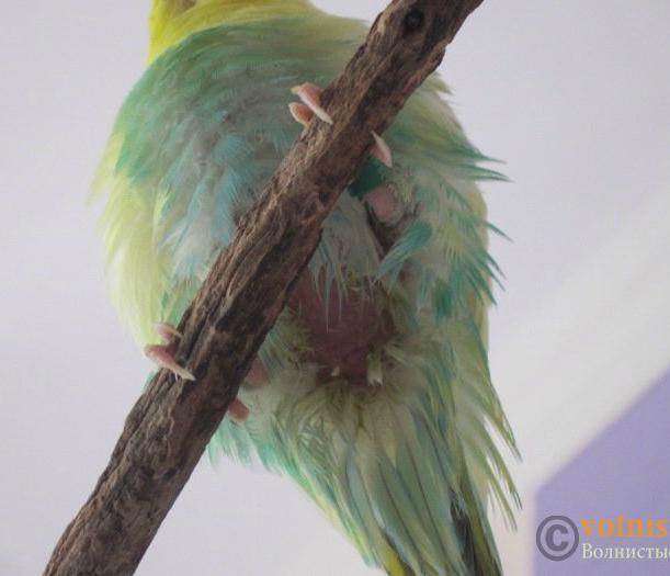 у попугая грязный хвост