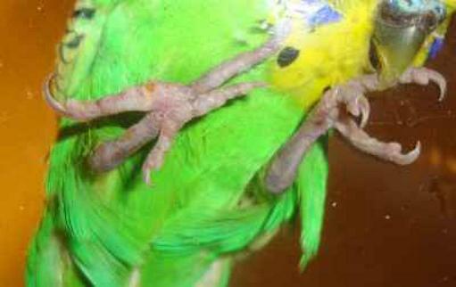 попугаю сильно прищемили лапку