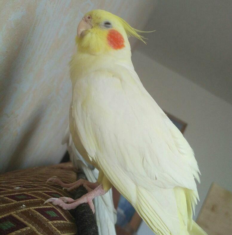 волнистый попугай выворачивает голову