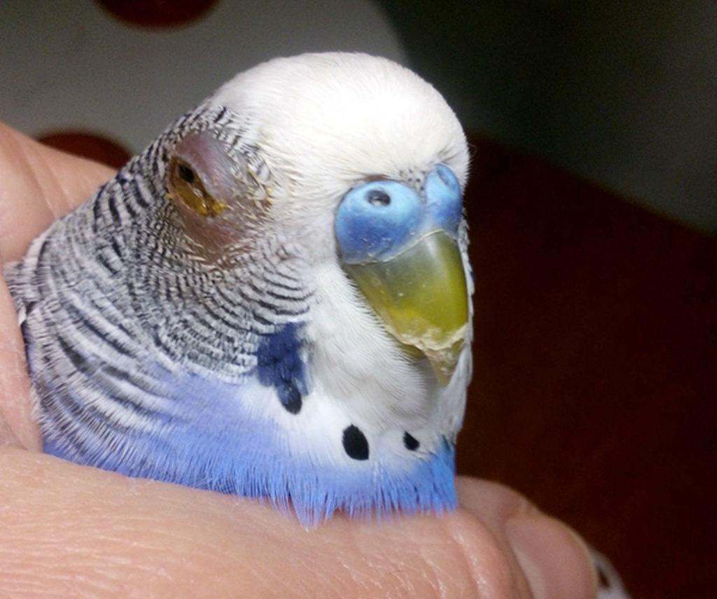 Что делать если у попугая отек глаз
