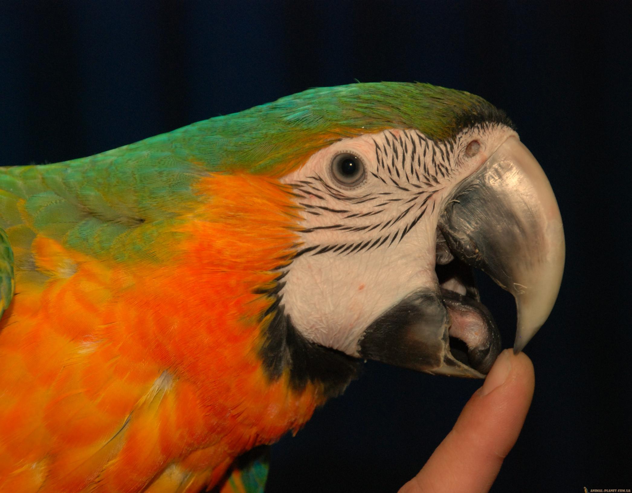 у попугая опух язык