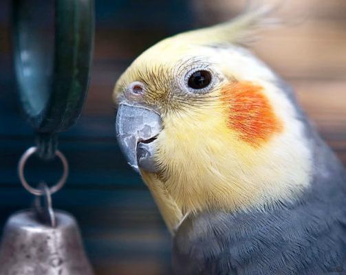 налет на клюве у попугая