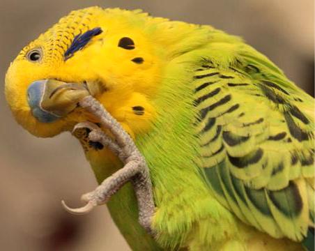 у попугая сломался коготь