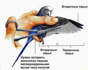 как обрезать крылья попугаю фото