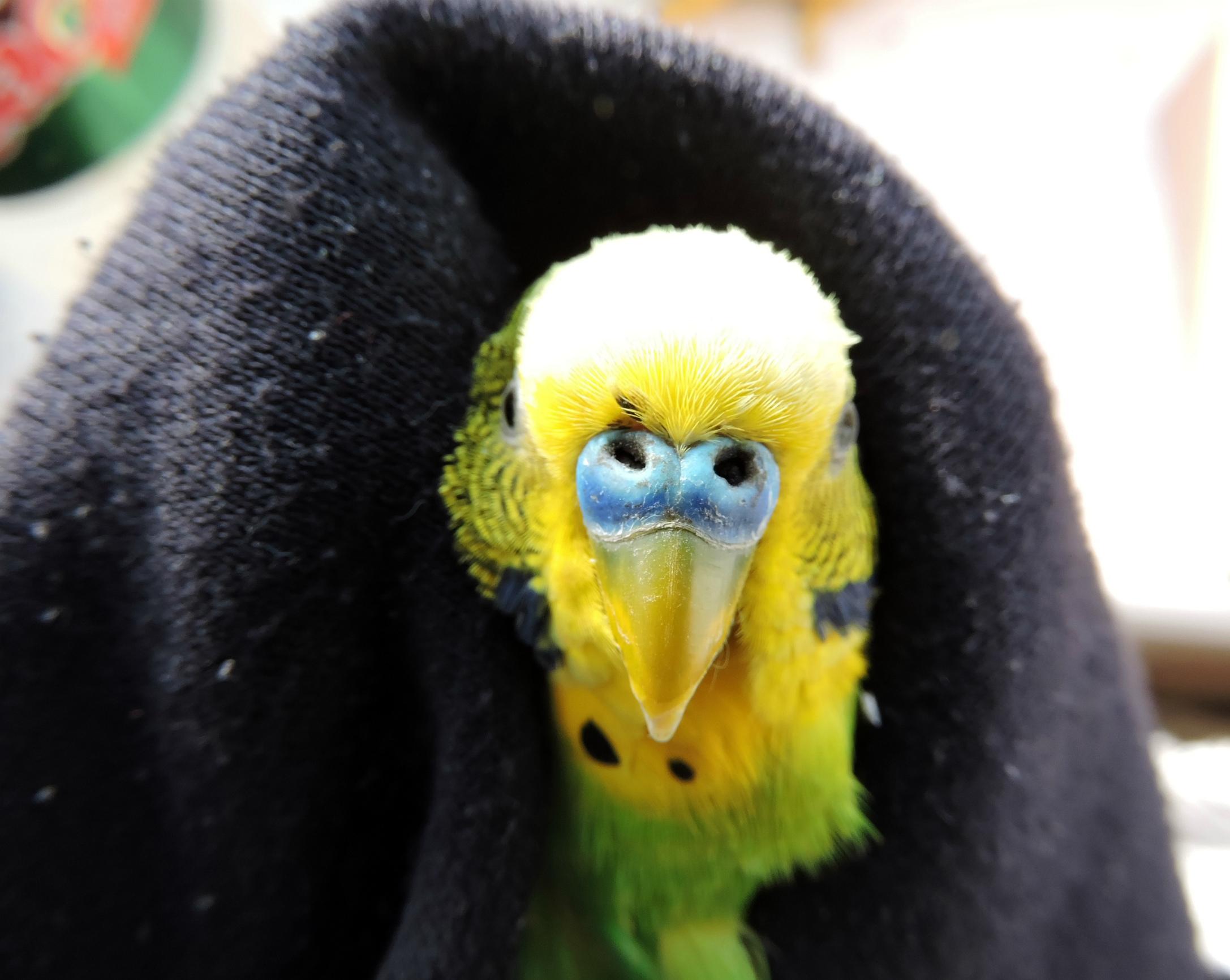 дыхание попугая со свистом