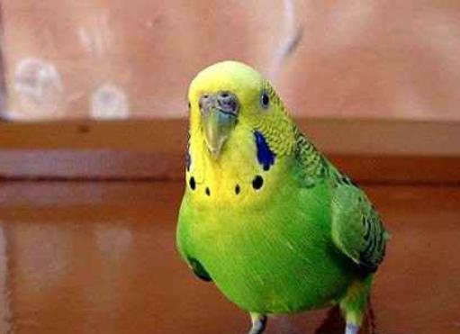 у попугаев может вздуться живот