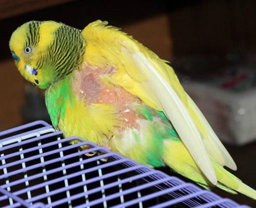 попугай выщипывает перья на спине